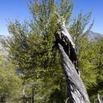 ok_GR20_arbre1